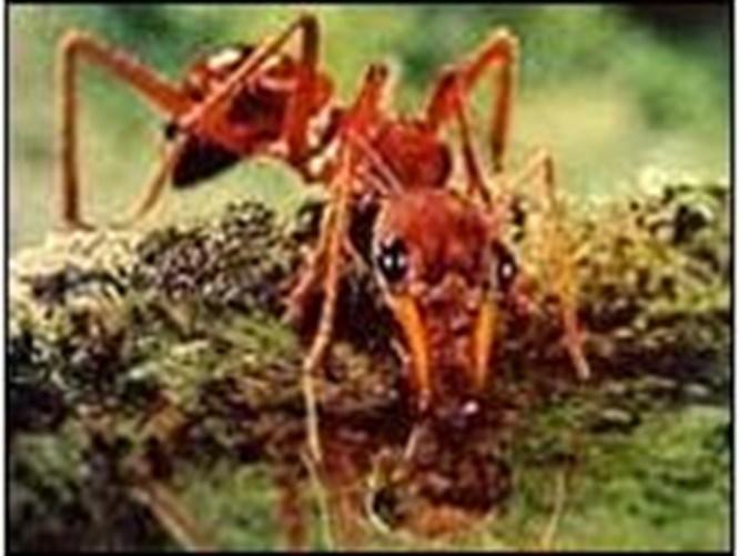 Karınca istilası başladı